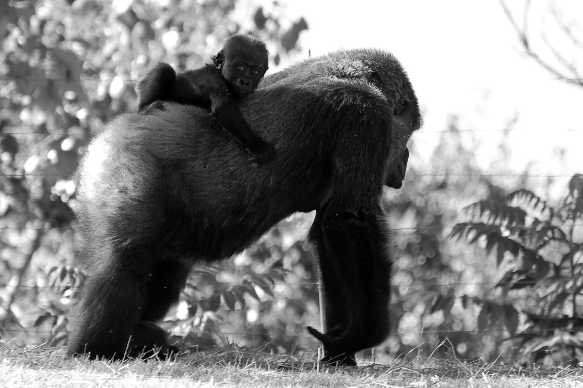 Gorillas In My Midst